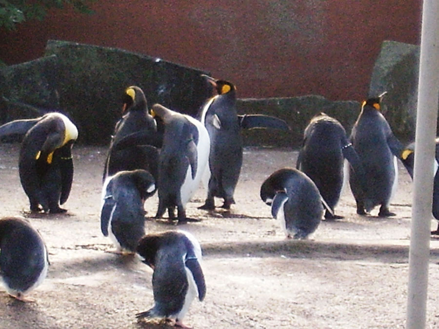 Pinguins no Edinburgh Zoo - Foto tirada por Hamilton Alves